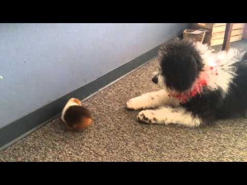 Jerzy, the Aussiedoodle, meets Pipsqueak, the guinea pig