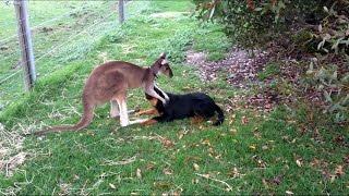 видео Kangaroo