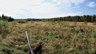 Охота на коростеля с дратхааром. 12 сентября 2016