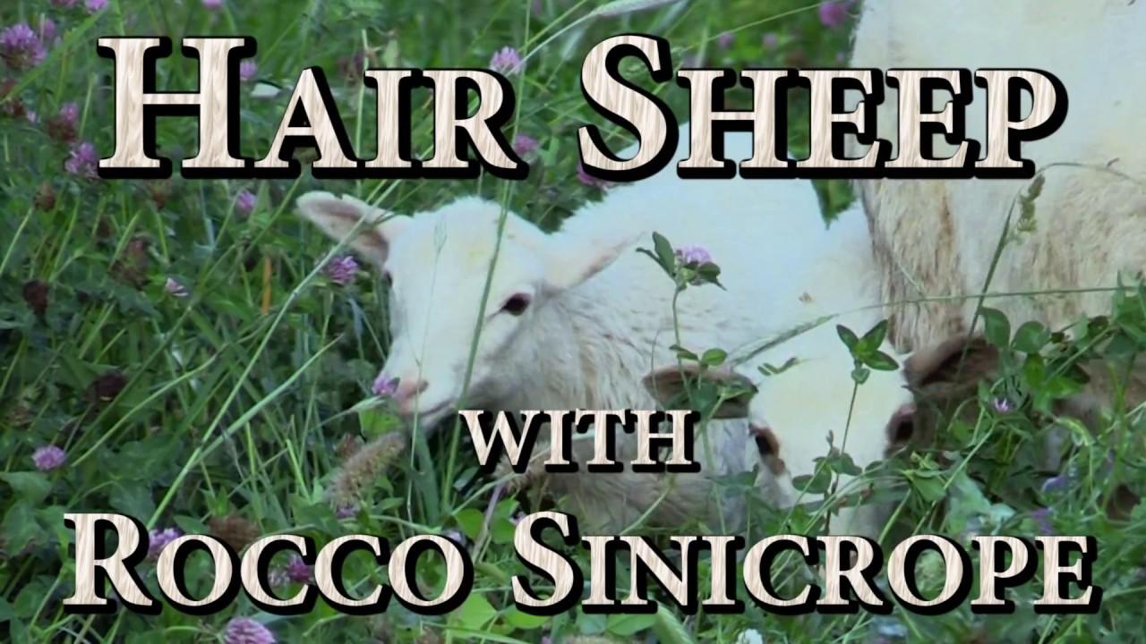 Hair Sheep with Rocco Sinicrope