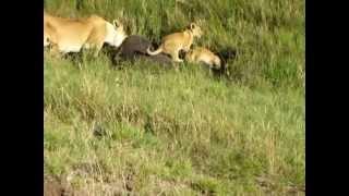 ライオンの子供たちも一緒にバッファローを食べてます。子供はご飯より...