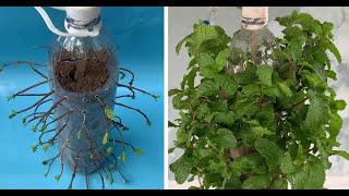 Plant Mint with plastic bottles