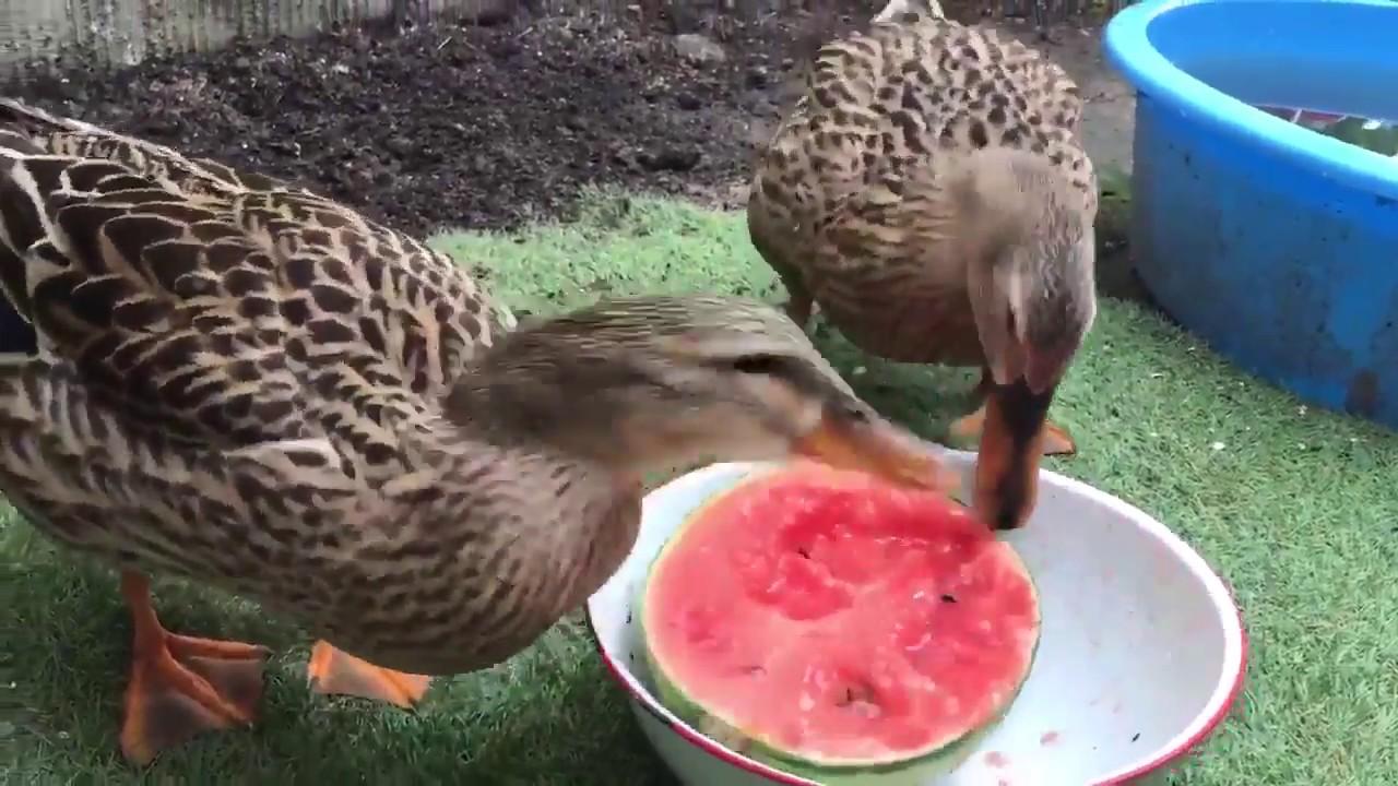 Утки едят арбуз