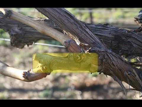 Grape Growing, Growing Grapes in your backyard, Pruning, Propagation and Wine