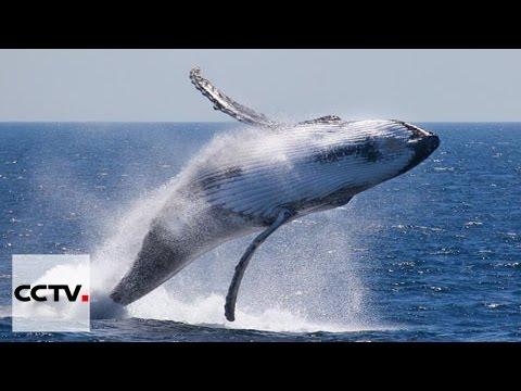 Inquiétudes autour de la migration des baleines en Afrique du Sud