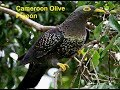 Gambar cover The Most Beautiful Rares Top 48 Pigeons Birds In The World! Most Expensive Rarest Pigeons Birds