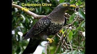The Most Beautiful Rares Top 48 Pigeons Birds In The World! Most Expensive Rarest Pigeons Birds