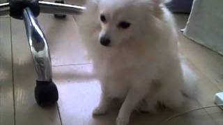 Bunny: The Guiltiest Pomeranian In The World!