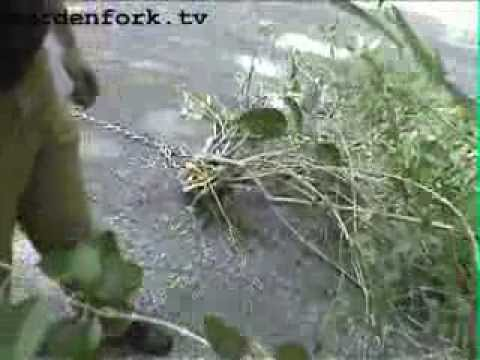 How to Remove Forsythia Bushes the Gardenfork Way