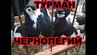 Чернопегий турман. | Порода короткоклювых голубей