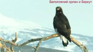 Беркут против большого орла