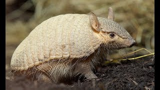 Hairy Armadillo and Little Armadillos Compilation