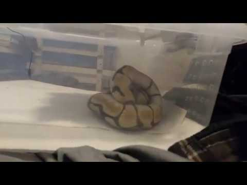 PASTEL PIED BALL PYTHON GIVEAWAY! AND CALLING OUT A BREEDER! from YouTube · Duration:  4 minutes 12 seconds