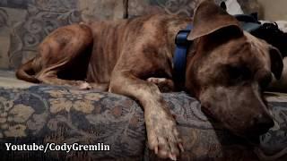 OUR ADORABLE PITBULL DOG SPEAKING ENGLISH!