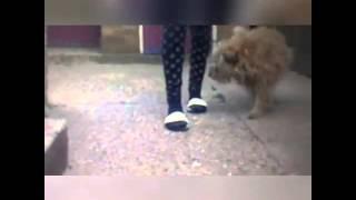 Border Terrier Tricks!