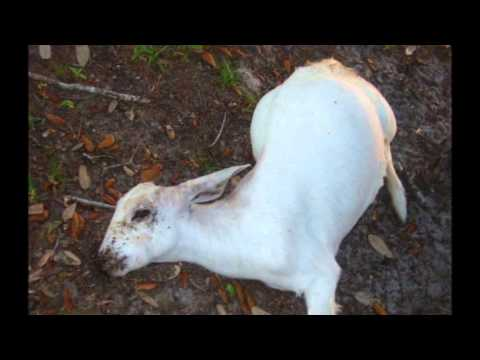 How to prevent and treat goat diseases, Imikhuhlane Yembuzi (Goat Diseases)