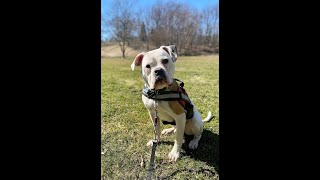 """6 Month Old American Bulldog  """"Kong"""" Before/After Video   2Week Board and Train   Erie"""