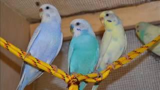 Пение волнистых попугаев 1 час.