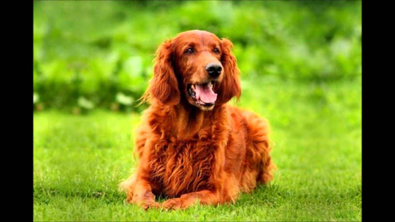Топ11 Самые глупые породы собак