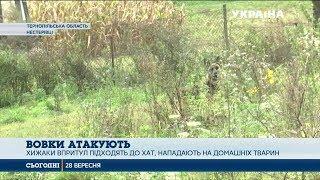 Зграї вовків знову атакують села на Тернопільщині