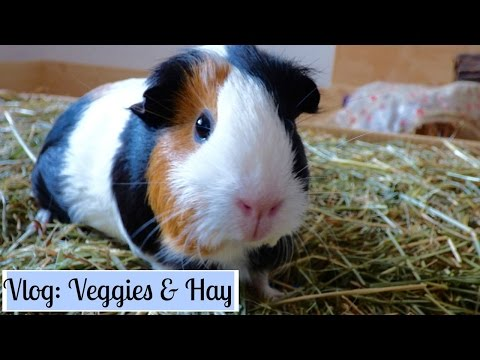 Wheek-ly Vlog 42: Veggies & New Hay for the Guinea Pigs