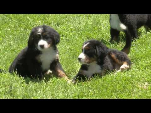Nathan Shrock's Bernese Mountain Dogs!