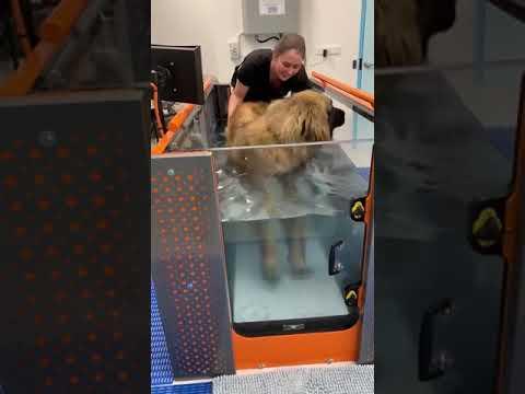 Leonberger Rembrandt in Vogue Vets & Wellness Centre's Canine Underwater Treadmill