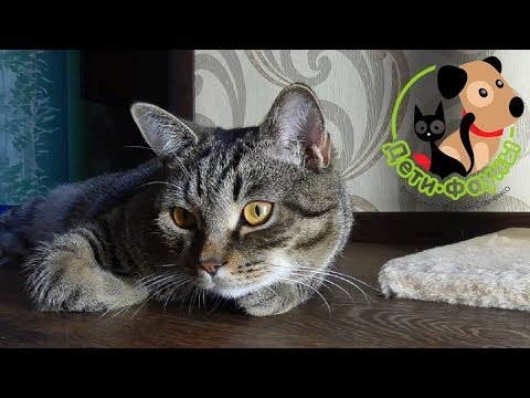 Болит подбородок у кошки
