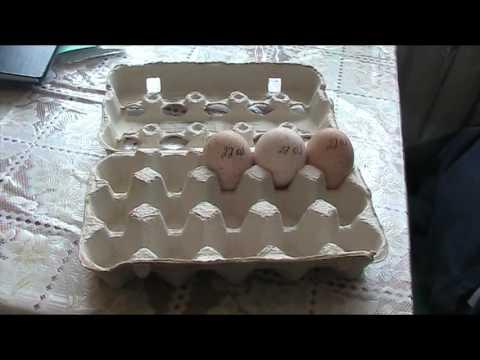 Сбор инкубационного яйца и его хранение // Секреты хороших урожаев.
