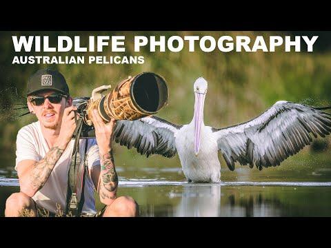 BIRD PHOTOGRAPHY - AUSTRALIAN PELICANS | WILDLIFE BEHIND THE SCENES