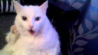 Кот лижет шерсть