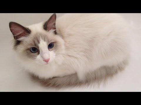 Cute kitten in the bathtub - Jeremy The Ragdoll Cat