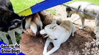 Five Huskies Playing Together | Dirt right in the Face