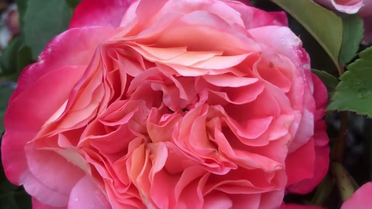 Питомник елены иващенко каталог роз с фото и ценами как заказать