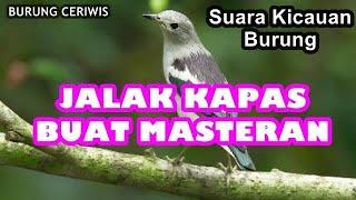 Suara Kicauan Burung Jalak Kapas, Jalak Sutra Cocok Buat Masteran Isian Sturnus Sturninus