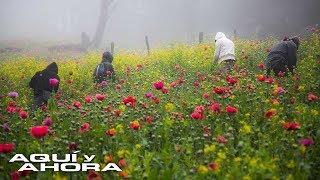 Grandes cultivos en la sierra mexicana ponen en evidencia el negocio que controla el crimen organiza