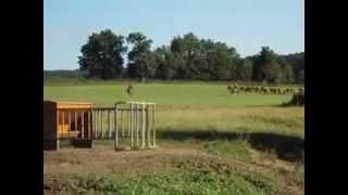 tri à cheval d'un taureau dans un troupeau de limousines