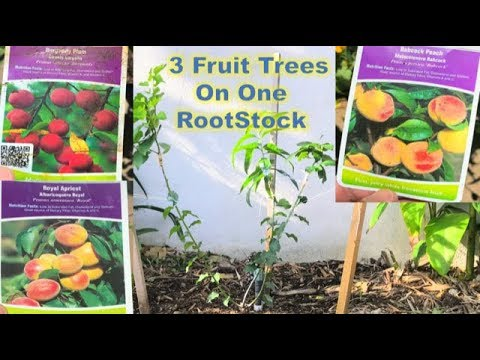 3-in-1 Grafting Success…. 7 Weeks UPDATE | Peaches, Plums & Apricots | BEFORE & AFTER