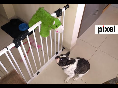 French Bulldog struggles to bring toys through gate