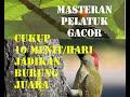 Masteran Burung Pelatuk Gacor Terbaru Dan Terbaik Untuk Kicau Mania  Mp3 - Mp4 Download