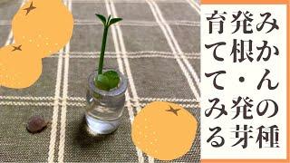【種から蜜柑】みかんの種を水につける 桃栗三年柿八年、蜜柑は…? おまけはハンミョウ ~Grow tangerine from seed~