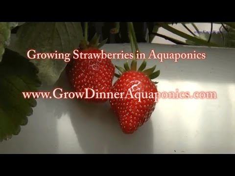 Growing Organic Aquaponic Strawberries