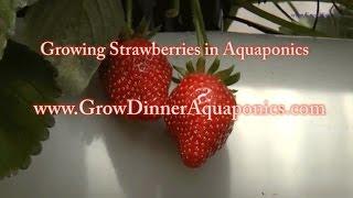 Growing Organic Aquaponic Strawberries