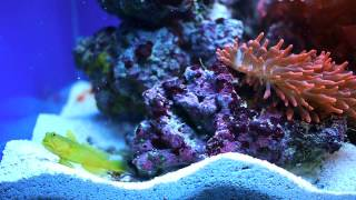 Yellow Goby and Pistol Shrimp