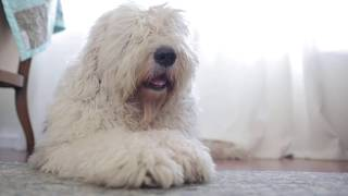 Old English Sheepdog Waiting for Owner to come Home┃#ourdogWallace┃Ed&Mel