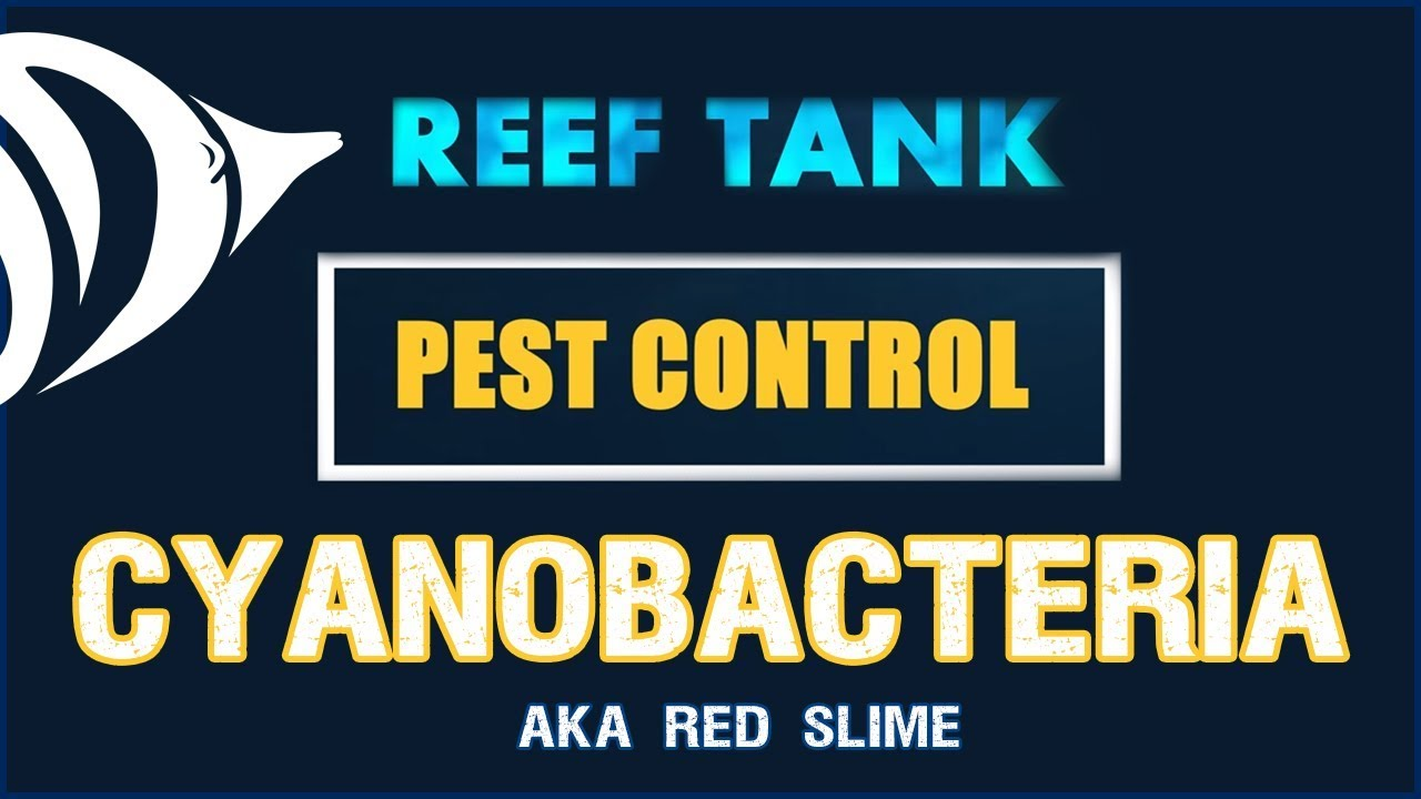 RED SLIME!!! - Reef Tank Pest Control #3: How to Get Rid of Cyanobacteria Thumbnail