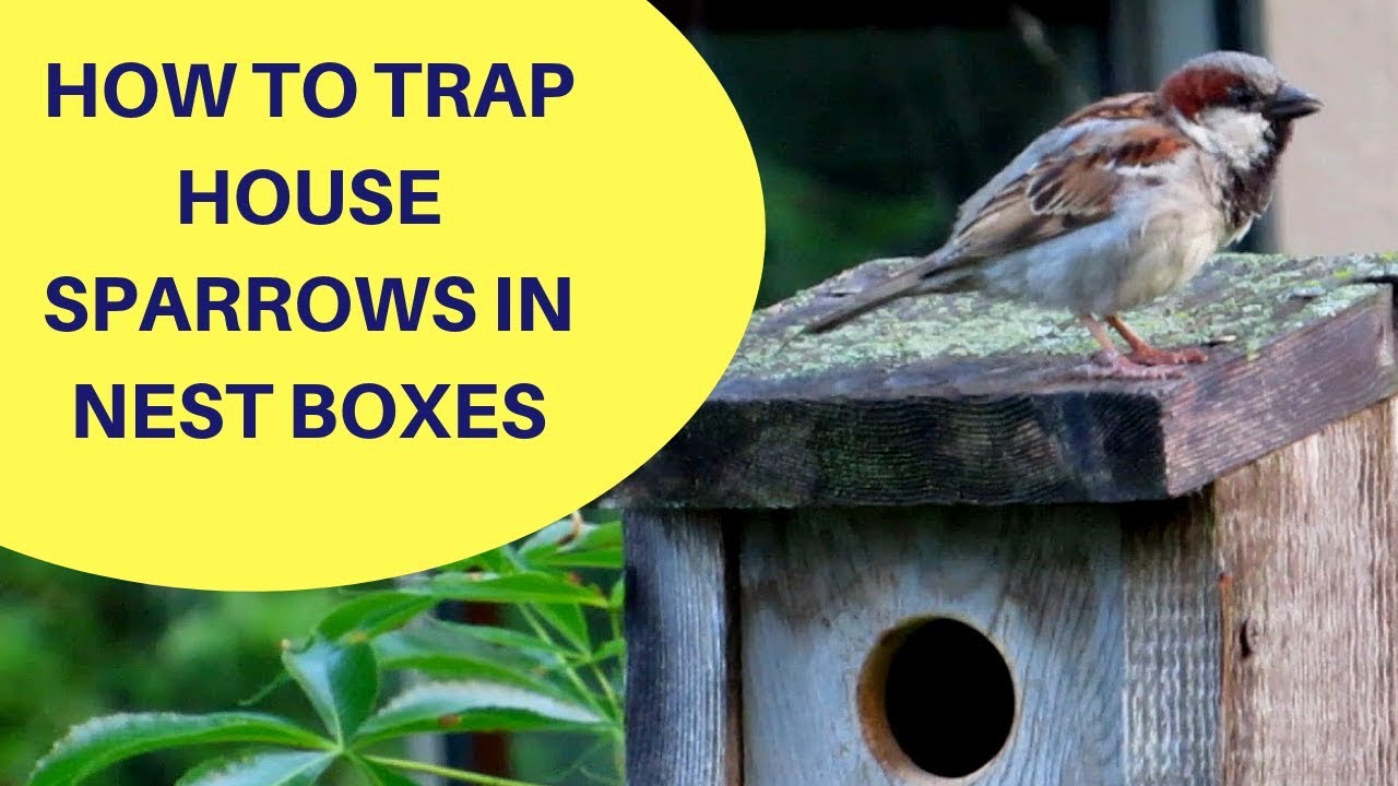 How To Trap House Sparrows In A Nest Box 2018 Youtube