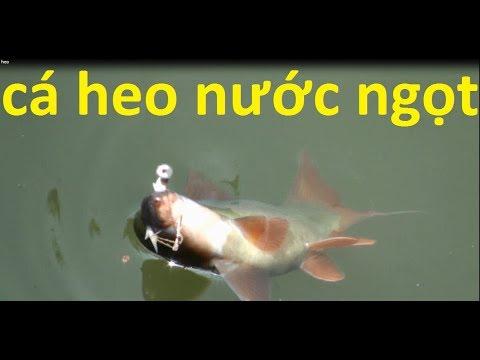 Hết hồn khi Câu dinh cá heo nước ngọt bự  như thế này /ra đồng