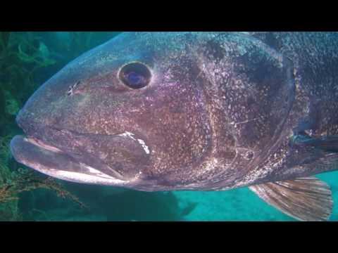 Giant Black Sea Bass of Catalina 2016 - YouTube