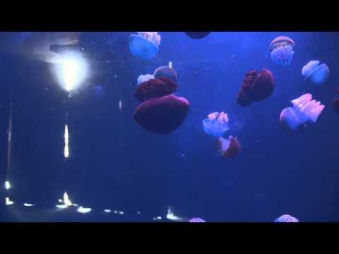 Blubber Jellyfish